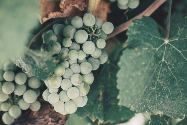 vino valenciano